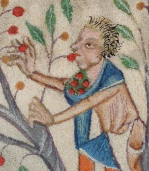 Young man in a tree using his capuchon hood as a basket. His hair is a short fussy mess. c. 1325-1340