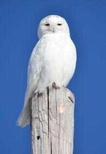 Snowy Owl in Pickford