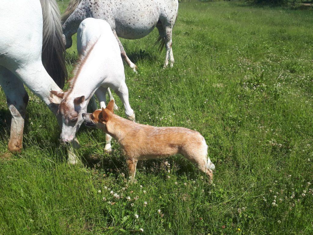 elevage poney des amériques en auvergne
