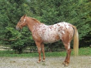 elevage poulains equitation western en auvergne