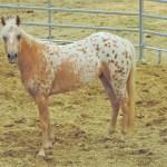 elevage de poney des amériques en auvergne
