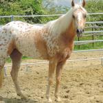 chevaux western à vendre en auvergne