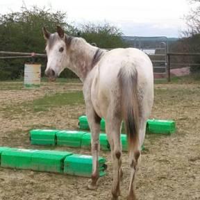 poneys des amériques à vendre en france