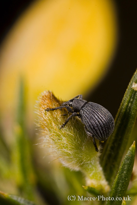 Stacked Weevil on Gorse