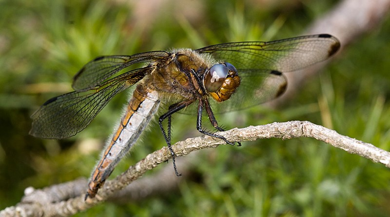 Libellula fulva - Scarce Chaser (Female) basking in sun