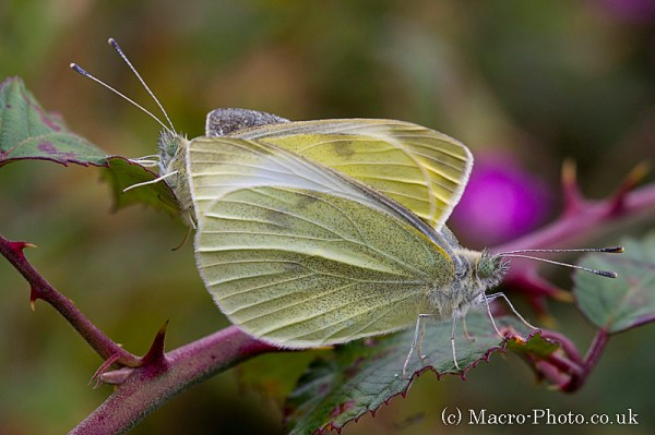 Large Whites - Pieris brassicae - Mating
