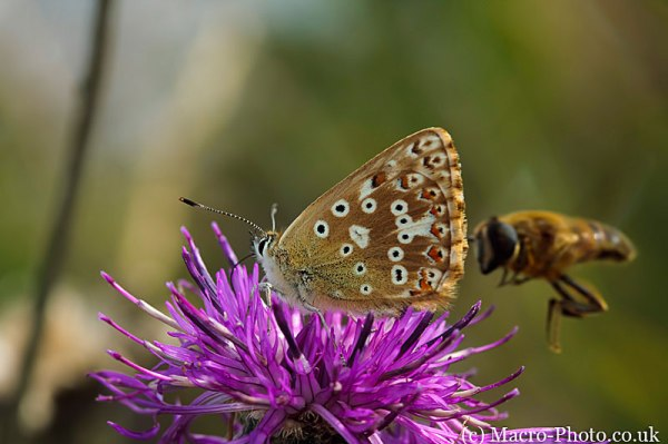 Blue Butterfly and Incoming Hoverfly