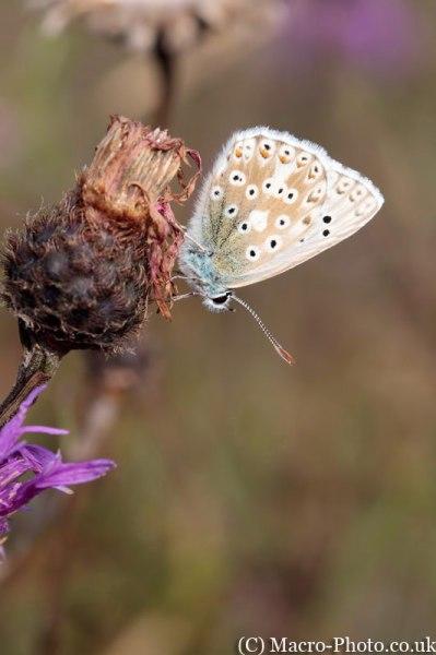 Chalkhill Blue - Lysandra coridon.