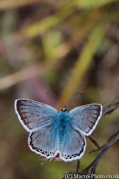 Chalkhill Blue - Lysandra coridon