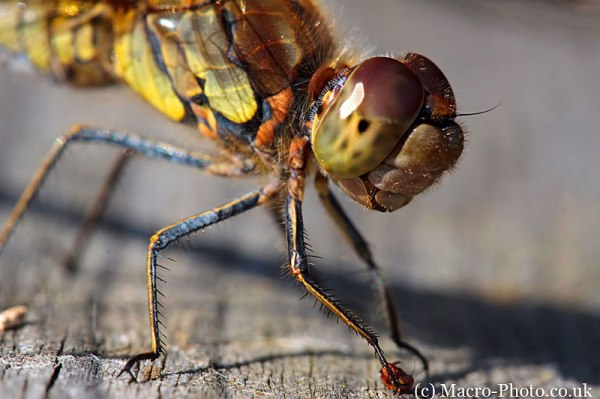 Common Darter Female - Sympetrum striolatum