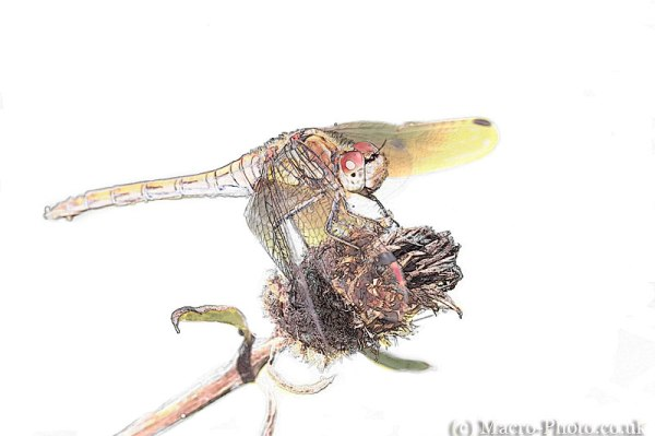 Common Darter Drawing