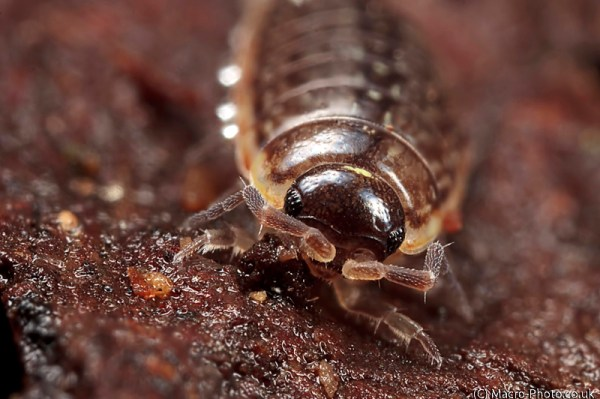 Woodlouse 3 image stack (Helicon Focus)