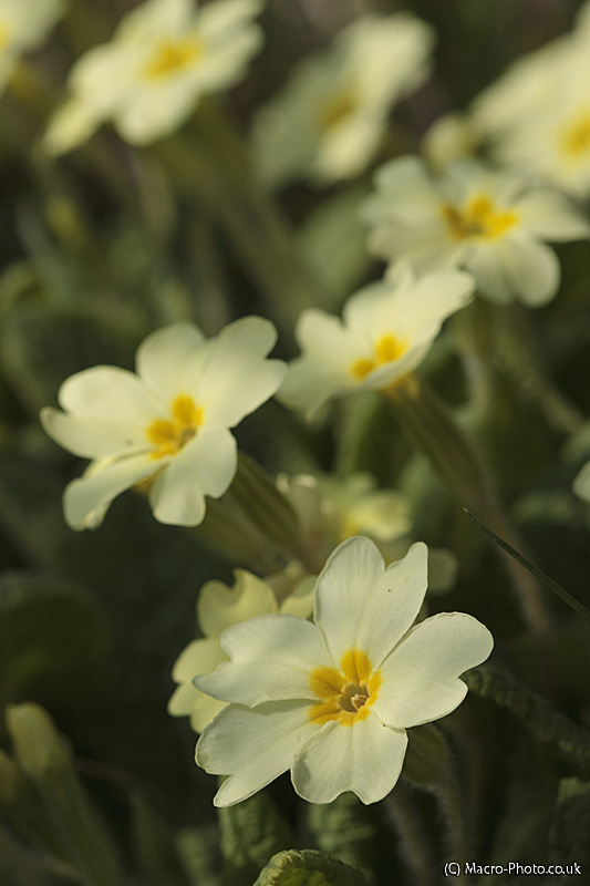 Primrose (Primula vulgaris) Patch
