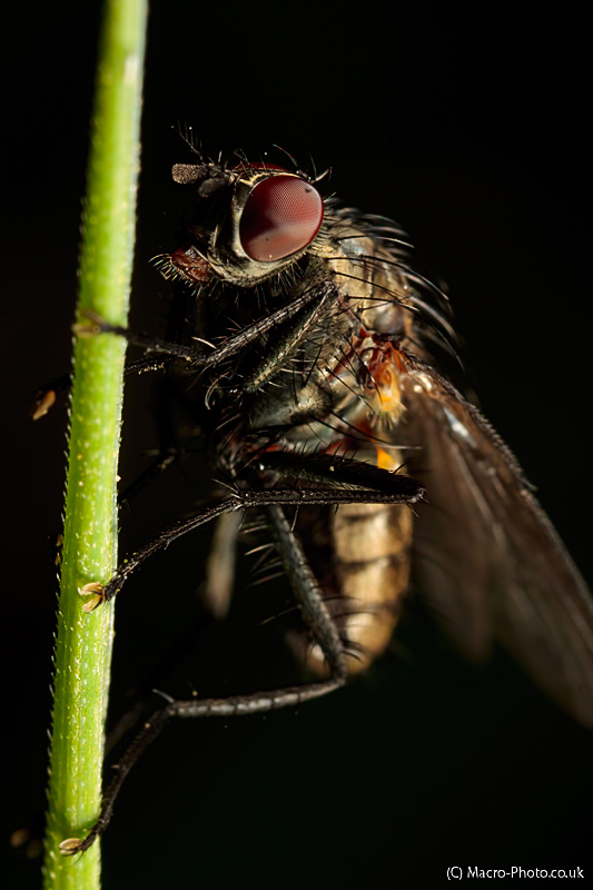 Fly on stalk at about 2.5x Magnification