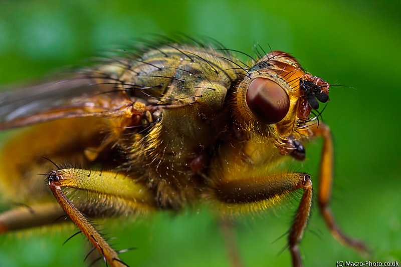 Common Yellow Dung Fly - Scathophaga stercoraria (3x Mag)