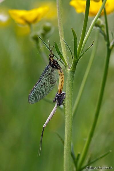 Emerging Mayfly - Ephemeroptera