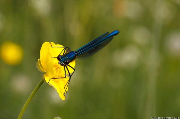 Demoiselle (Male)