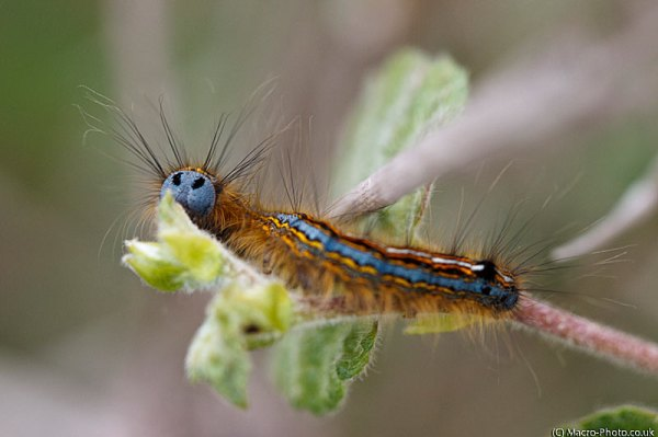 Lackey Moth Catterpillar