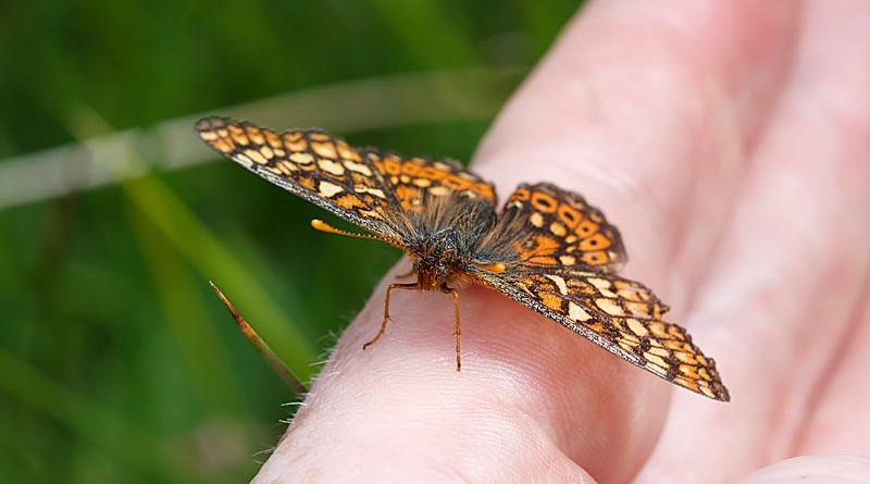 Marsh Fritillary - Euphydryas aurinia. On My hand.