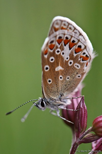 Common Blue up close