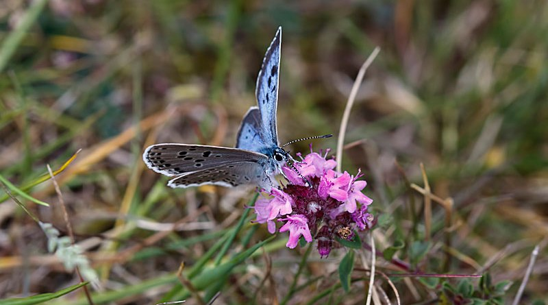 Large Blue Nectaring - Maculinea arion