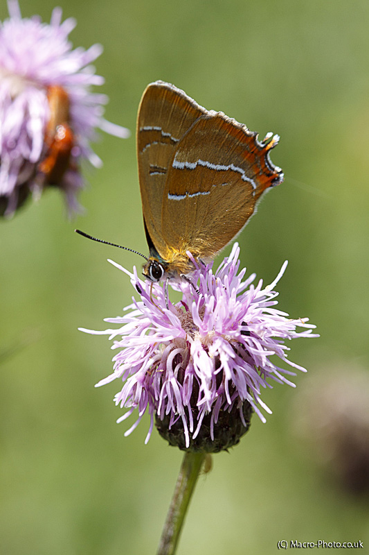 Hairstreaks and others Butterflies at Alners Gorse