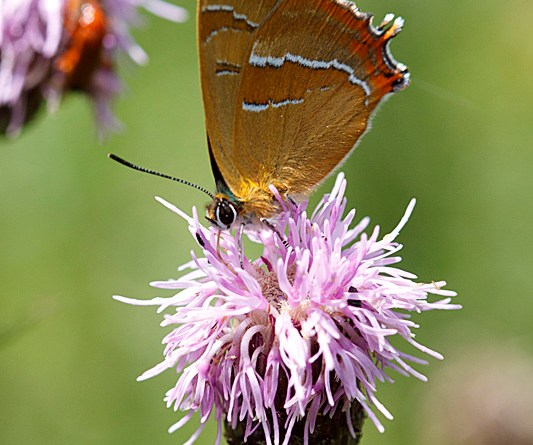 Brown Hairstreak - Thecla betulae