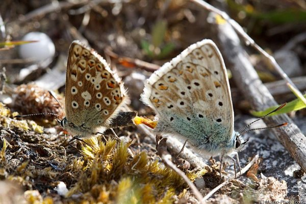 Mating Chalkhill Blues (Lysandra coridon).