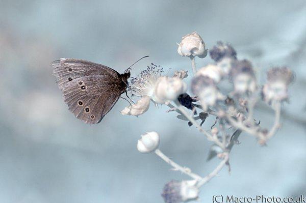 Infrared Ringlet Butterfly