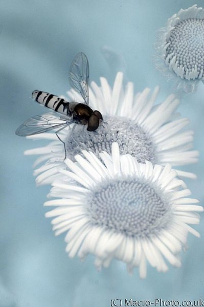 Infrared hoverfly on flower