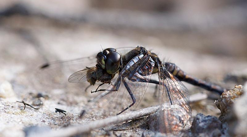 Male Black Darter eating