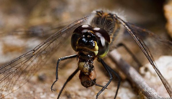 Close up of Black Darter eating (Slight crop to panoram style)