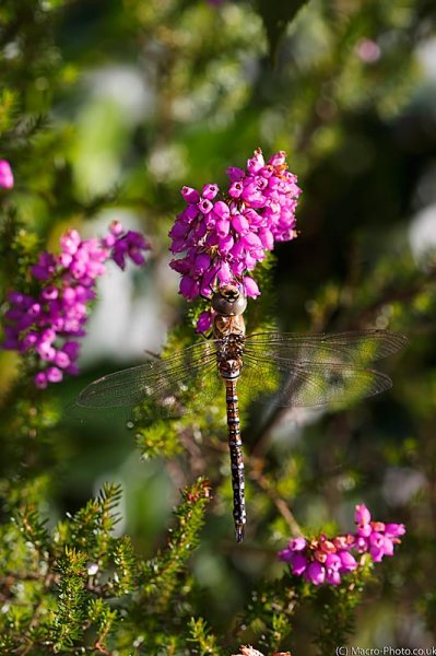 Migrant Hawker (Aeshna mixta) heather