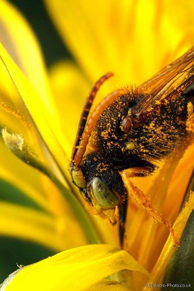 Nomanda bee drinking.