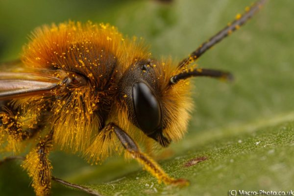 Solitary Bee (about 3x Magnification).