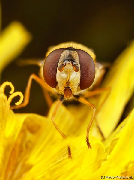 Fly on flower. (around 3x Magnification) 4 Images Stacked.