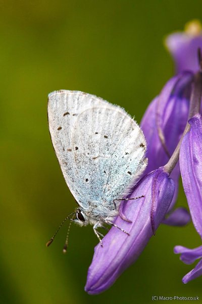 Small Blue on Bluebell.