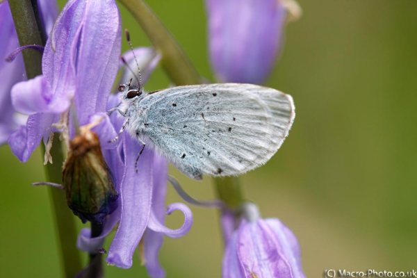 Small Blue on Bluebell