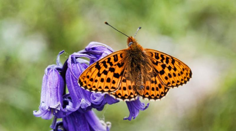 Pearl Bordered Fritillary on Bluebells