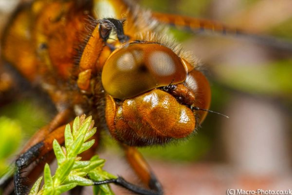 Take That! Close Up of Broad-bodied Chaser (about 1.5x mag)