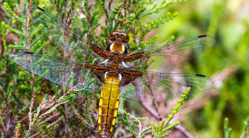 Broad-bodied Chaser on Heather