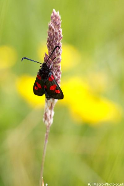 Burnett Moth