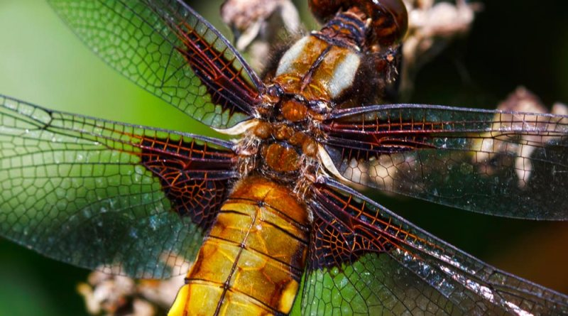 Close up of Broad-bodied Chasers Wings