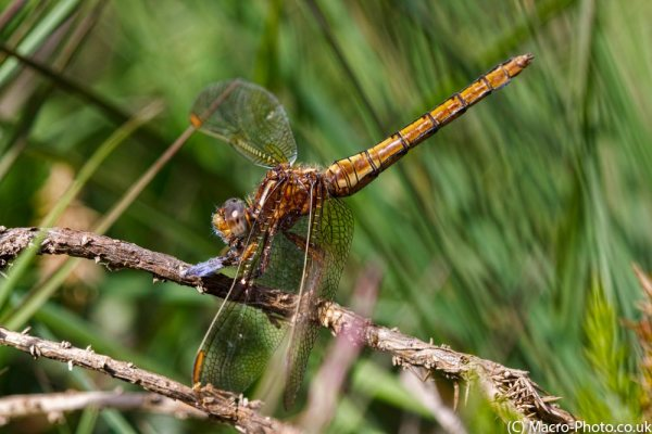 Keeled Skimmer with Butterfly Prey