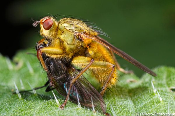 Common Yellow Dung Fly with Prey.