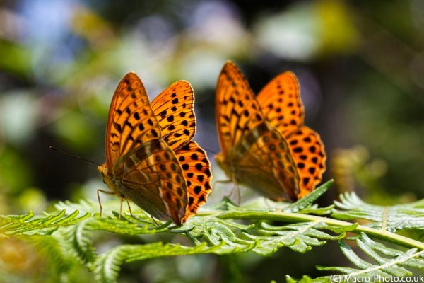 Pair of Silver-Washed Fritillarys