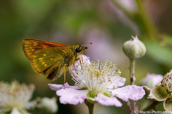 Skipper on Bramble.