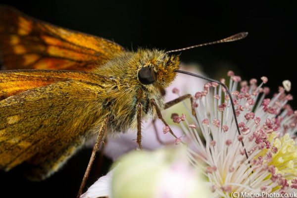 Skipper on Bramble (about 1.5x)
