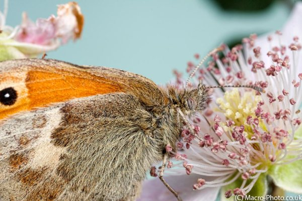 Small Heath nectaring on bramble (Landscape)