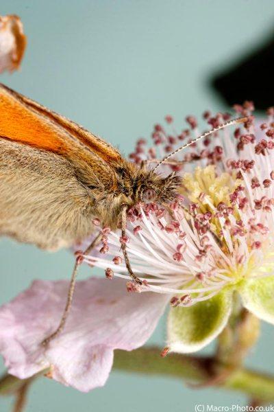 Small Heath nectaring on bramble (Portrait).